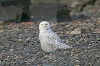 Snowy Owl (Nyctea scandiaca) standing on a rocky shore