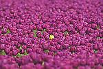 A Yellow Tulip in an ocean of Purple, Skagit Valley, Washington