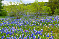 Texas wildflowers and mesquite are a good mix in the hill country. These bluebonnets and indian paintbrush plus some indian blankets give just a hint of red among all the blues and greens of the mesquite trees in this hughe field of flowers in the Texas Hill Country.