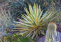 Yucca 'Bright Star' variegated foliage succulent in Bancroft Garden