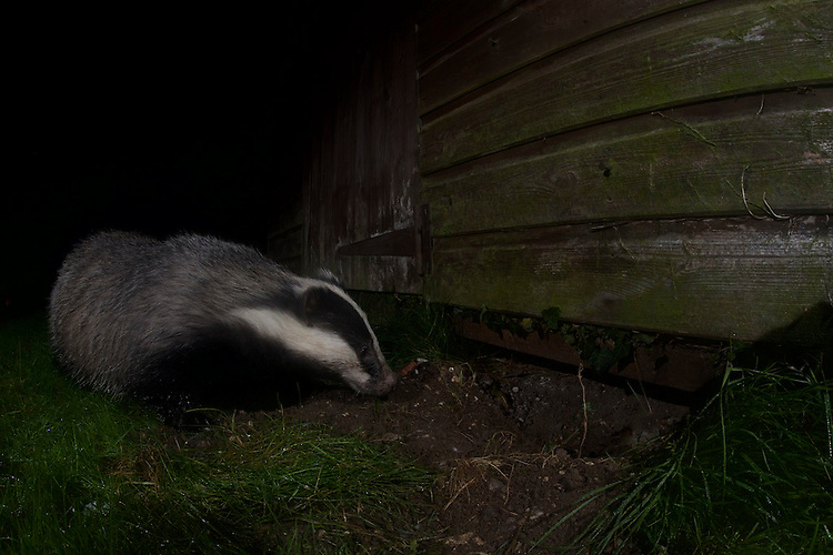 A Badger digging under a garden shed in Bedfordshire, UK