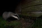 A Badger digging under a garden shed in Bedfordshire, UK