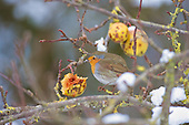 Robin (Erithacus rubecula) eating in apple tree in snow, Lancashire, December. The only available food left by other birds. The ground is frozen in the big freeze, and food is scarce. The Robin is Britain's unofficial national bird, and can readily be trained.