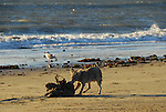 coyote eating deal seal at Ano Nuevo SR