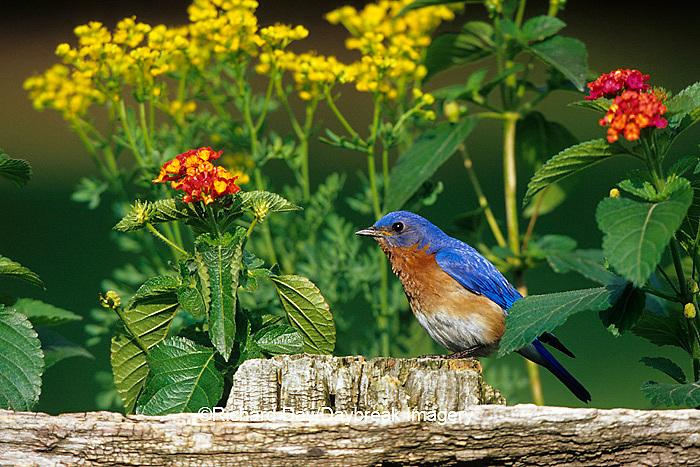 01377-134.05 Eastern Bluebird (Sialia sialis) male on wooden fence near garden - Lantana & Rue  Marion Co.  IL