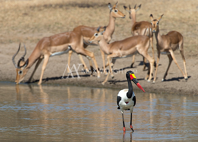 The saddle-billed stork is one of southern Africa's tallest and most spectacular birds.