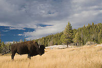 American Bison, Buffalo, Bison bison, adult, Yellowstone NP,Wyoming, September 2005...