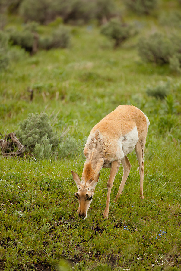 A single pronghorn antelope grazes on a grassy plain.