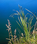 Reeds And Weeds Along The Shore Of A Pond At The Voice Of America Park, West Chester, Ohio, USA