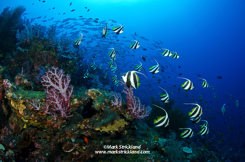 Schooling Bannerfish, Heniochus diphreutes, gather on a steep dropoff amidst colorful soft corals as a school of Bigeye Trevally swirl in the distance. Black Magic, Andaman Islands, India, Andaman Sea