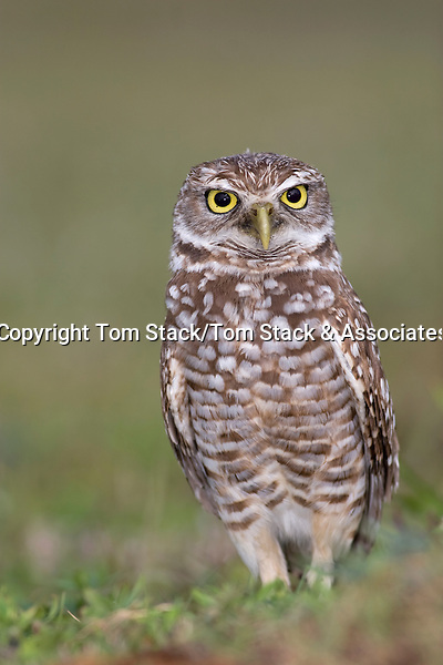 Burrowing Owl, Athene cunicularia, Broward County Park, Florida