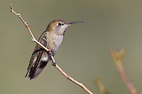 Anna's Hummingbird - Calypte anna - Adult female