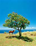 USA, Hawaii, The Big Island, a horse stands under a tree in front of the blue Pacific ocean, near Waipio Valley and the Hamakua Coast