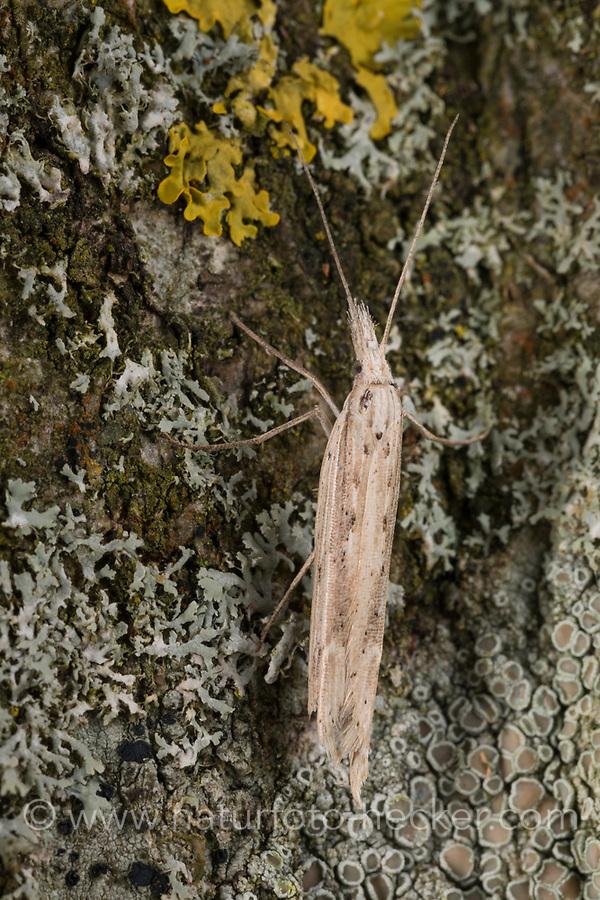 Ypsolopha mucronella, Ypsolopha caudella, Spindle Smudge, Ypsolophidae, Yponomeutoid Moths, sicklewinged moths