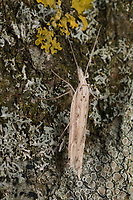 Ypsolopha mucronella, Ypsolopha caudella, Spindle Smudge, Ypsolophidae, Yponomeutoid Moths, sicklewinged moths
