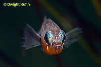 1S14-530z  Male Threespine Stickleback, Mating colors showing bright red belly and blue eyes, close-up of face, Gasterosteus aculeatus,  Hotel Lake British Columbia