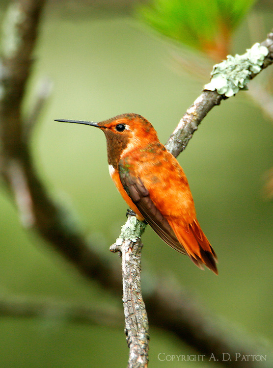 Adult male rufous hummingbird on branch
