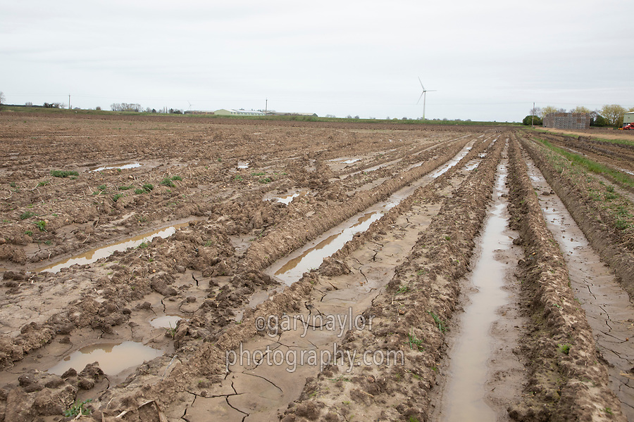 Part lifted potato field in spring - Lincolnshire, March