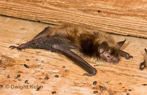 MA20-637z  Little Brown Bats, Myotis lucifugus
