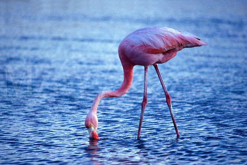 Galapagos Flamingo, Phoenicopterus ruber, Galapagos Islands, Ecuador