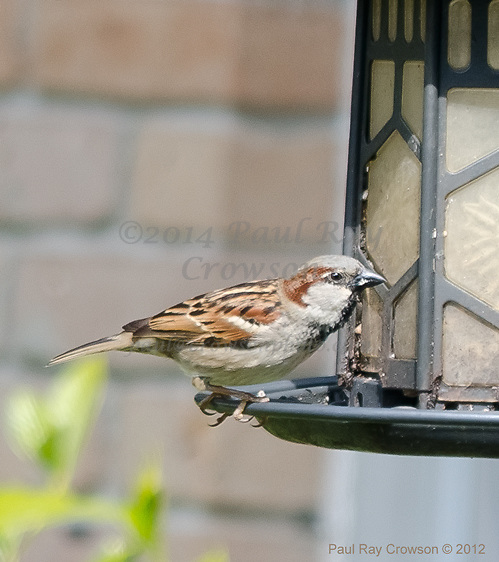 House Sparrow at feeder