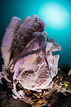 Apo Island, Dauin, Negros Oriental, Philippines; a purple giant frogfish sitting face down amongst a colony of tube sponges with the sun overhead