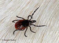 "1022-07yy  Deer Tick - Ixodes scapularis ""on white dog hair looking for a blood meal"" © David Kuhn/Dwight Kuhn Photography"