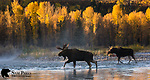 Large bull moose and cow crossing river during the rut. Grand Teton National Park, Wyoming.