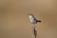 598030019 a wild bewick's wren thryomanes bewickii sings or vocalizes while perched on a twig in kern county california united states