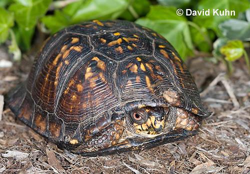 1002-0804  Male Eastern Box Turtle (Tucked in Shell), Terrapene carolina © David Kuhn/Dwight Kuhn Photography.