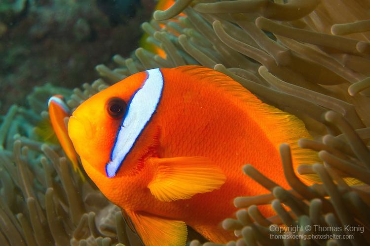 Kenting, Taiwan -- Orange tomato anemonefish.