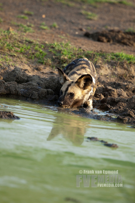 African Wild Dog (Lycaon pictus)...Endangered species..At a waterhole...Hluhluwe Imfolozi Game Reserve..Kwazulu-Natal, South Africa..November 2010.