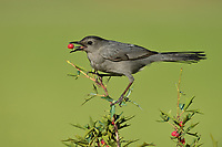 Gray Catbird (Dumetella carolinensis), adult feeding on berries Agarita (Berberis trifoliolata), South Padre Island, Texas, USA