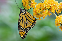 Western Monarch Butterfly (Danaus plexippus).  OR.  Summer.