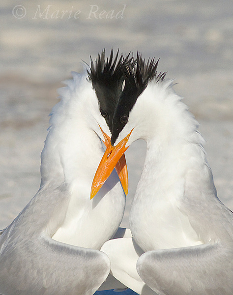 Royal Terns (Sterna maxima), pair crossing bills during courtship behavior, Fort DeSoto Park, Florida, USA<br /> Vertical crop from original.