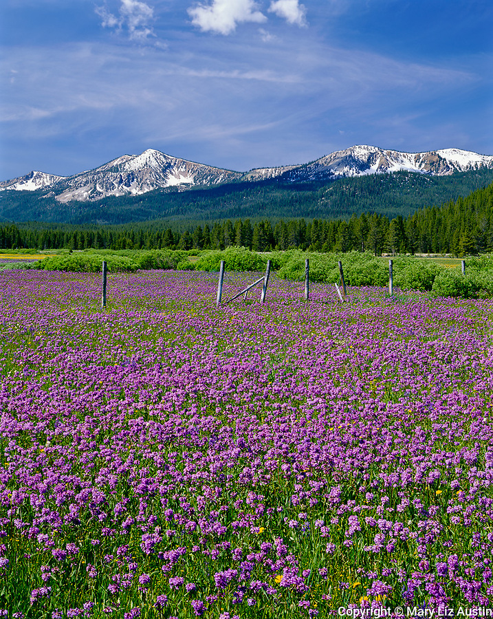 Sawtooth National Recreation Area, ID<br /> Weathered rail fence in a meadow of Rydberg's penstemon (penstemon rydergii) in the Challis National Forest - Sawtooth Range in the distance