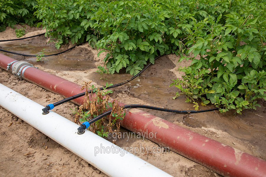 Potatoes irrigated with drip - Lincolnshire, July