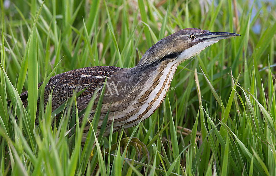 This was my best encounter to date with the elusive and shy American bittern.