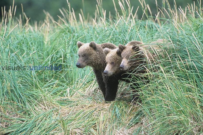Brown Bear cubs (Ursus arctos), Alaska.