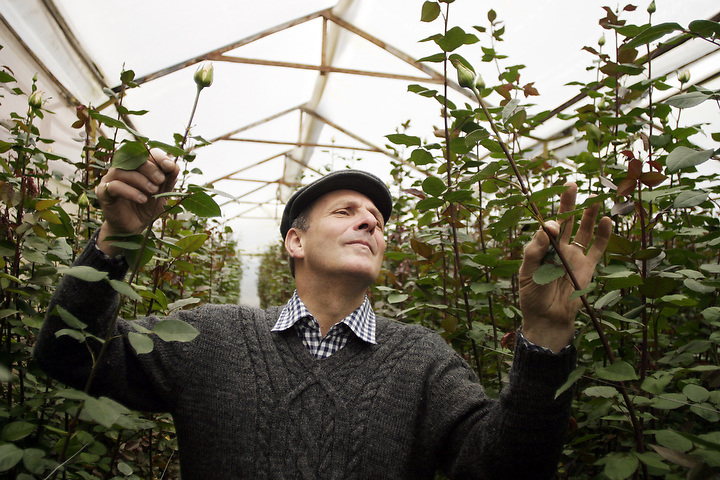 BOGOTA, COLOMBIA -- JANUARY 21: Peter Beyfus, manager of Alpes Flowers in Bogota looks over his roses in a greenhouse near Bogota on November 3, 2003.  (Photo by Dennis Drenner/Aurora).