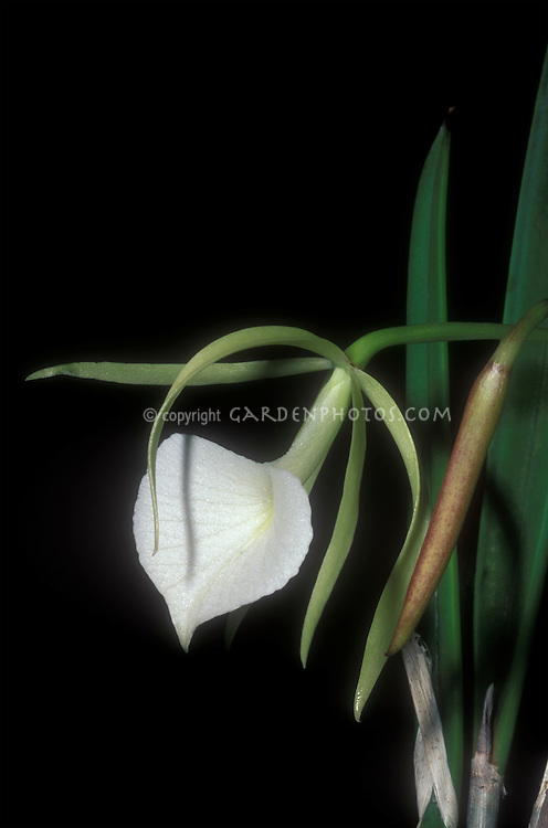 Brassavola nodosa Orchid Species Lady of the Night