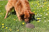 Hund, Haushund, Haus-Hund und Igel im Garten, Hund attackiert den Igel, dieser rollt sich in Verteidigungsposition ein, Hund sticht, piekst sich an Pfoten und Schnauze, Erinaceus europaeus, Westigel, Braunbrustigel<br /> western hedgehog, European hedgehog