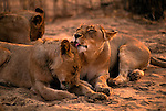 Two lions grooming each other in Mala Mala, South Africa