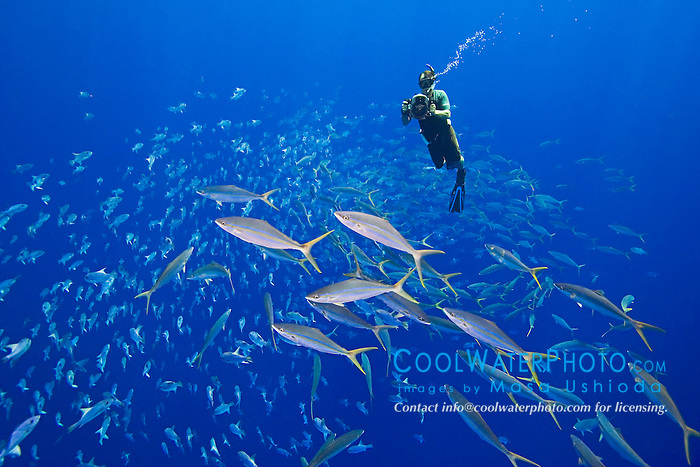 Marine life artist, painter, sculpter, Wyland, filming schooling rainbow runners, Elagatis bipinnulatus, and whitespotted filefish, Cantherhines dumerilii, off Kona Coast, Big Island, Hawaii, Pacific Ocean