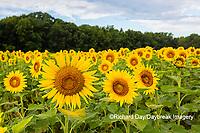 63801-11113 Sunflowers in field Jasper Co.  IL