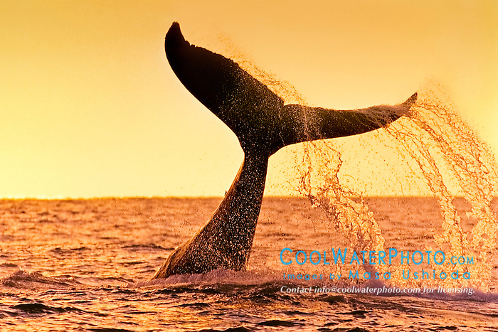 humpback whale, Megaptera novaeangliae, lobtailing or tail slapping at sunset, Hawaii, USA, Pacific Ocean