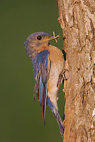 Eastern Bluebird, Sialia sialis, male at nesting cavity, Willacy County, Rio Grande Valley, Texas, USA, June 2006