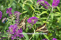 03017-01220 Giant Swallowtail butterflies (Papilio cresphontes) male and female at Butterfly Bush (Buddleia davidii)  Marion Co., IL