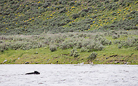 I had just entered the park when I spied this American black bear swimming across the Madison River.