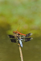 Dragonflies--Cardinal Meadowhawk (Sympetrum illotum) male and Common Whitetail (Libellula lydia) male--contesting over perch.  Pacific Northwest.  Summer.